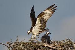 ..another..Osprey bringing branch to nest.. (turtlehawk) Tags: nature wildlife bethany osprey bethanybeach bluecoast 060416