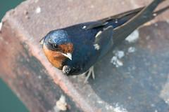 Barn Swallow (Hirundo rustica) (ekroc101) Tags: ontario birds barnswallow hirundorustica portdalhousie