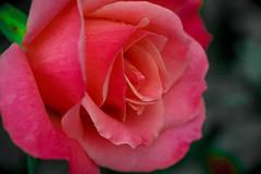 Color Magic (Jack o' Lantern) Tags: roses rose masterphotos rosecolormagic