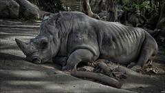 Rinoceronte (candi...) Tags: barcelona fauna zoo rhino animales rinoceronte sonya77