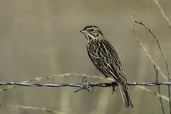 Savannah Sparrow (Bob Gunderson) Tags: california birds northerncalifornia sparrows southbay santaclaracounty savannahsparrow passerculussandwichensis coyotevalley