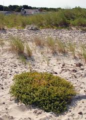 seabeach sandwort (ophis) Tags: caryophyllaceae honckenya honckenyapeploides seabeachsandwort