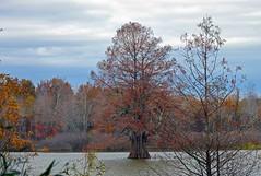 Old-Man-Of-The-Lake (kbbrawley5) Tags: trees tree nikon swamp cypress mingo baldcypress d3200 mingoswamp kurtbrawley kbbrawley5 rockhousemarsh