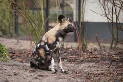 2014-12-13-11h53m03.BL7R8729 (A.J. Haverkamp) Tags: amsterdam zoo thenetherlands artis dierentuin africanhuntingdog afrikaansewildehond canonef70200mmf28lisusmlens httpwwwartisnl