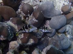 Snorkeling - Seychelles - Octobre 2014 (46) (Valerie Hukalo) Tags: africa toby fish indianocean snorkeling seychelles puffer poisson afrique le praslin underwaterphotography canthigaster ocanindien photosousmarine hukalo photoaquatique patrickhukalo anselazion