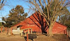 Pig Barn (Gerry Dincher) Tags: locklear bobbylocklear fairmont northcarolina robesoncounty mckellarroad northcarolinahighway130 farm farmers familyfarm hogs pigs swine organicfarming redbarn berk tammy gerrydincher