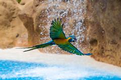 Where dreams come true.... (Smyniex) Tags: motion bird birds canon waterfall paradise wildlife ngc parrot 7d tenerife ef canon70200f4l avianexcellence diamondclassphotographer flickrdiamond tomaszsmyk smyniex