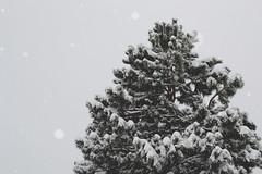 White Christmas (Jake Allison) Tags: christmas snow tree nature snowing matte