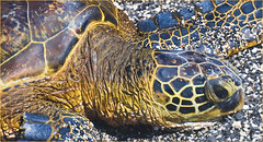 hawaii greenseaturtle roncogswell kahaluubeachparkkailuakonabigislandhi greenseaturtlekahaluubeachparkbigislandhi