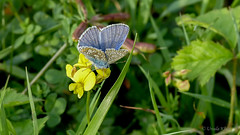 Argus-Bluling (Plebejus argus) (Oerliuschi) Tags: butterfly blume blte schmetterling bluling