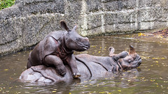 Indian rhinoceros and her calf (John van Beers) Tags: zoo switzerland basel calf rhinoceros kalf zolli dierentuin neushoorn baselstadt baselzoo rhinocerosunicornis indianrhinoceros indischeneushoorn