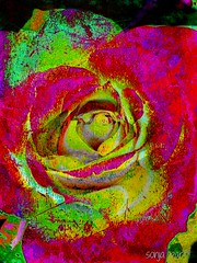 rose (Sonja Parfitt) Tags: rose painted textured