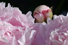 Peony (evisdotter) Tags: pink flowers macro drops peony bud blommor pion sooc