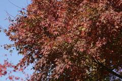 (ddsnet) Tags: travel plant japan sony autumnleaves 99  nippon   autumnal nihon  slt himejijo backpackers           hygoken    singlelenstranslucent 99v