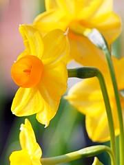 PC070131 (eriko_jpn) Tags: yellowflower narcissus