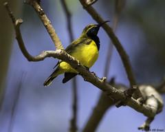 Male Olive-backed Sunbird (Ralph Green) Tags: male bird birds australia queensland portdouglas olivebackedsunbird nectariniajugularis yellowbelliedsunbird yellowbreastedsunbird