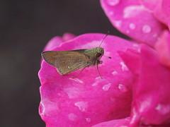 PA276391 (Polotaro) Tags: flower macro nature rose pen butterfly bug insect olympus   zuiko  ep1  10           tamronsp90mmf28macro1172b ojirosegarden
