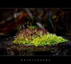 frozen moss (austrianeye) Tags: macro ice nature frozen moss natur makro eis moos mikro gefroren
