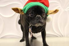 IMG_0115 (CarlosPacheco) Tags: christmas cute dogs puppy costume pug elf pugs