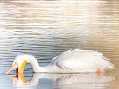 GilbertRP-Jan2015-1-24 (birdistheword1980) Tags: bird nikon birding gilbert lightroom nikoncoolpix 2015 herping birdnerd riparianpreserve wintermigration gilbertwaterpark adecadebetween