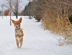 50/52 Weeks for Skye- You called... (ginam6p) Tags: dog snow toronto skye nikon hound running 52weeksfordogs