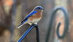 1/52 Bluebird: Good Intentions (Bella Lisa) Tags: bluebird canon70d week12015 52weeksthe2015edition weekstartingthursdayjanuary12015