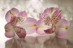 (Julia C. F) Tags: pink light macro luz shine bokeh alstroemeria brilho astromelia