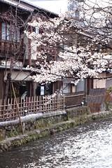 sakura '13-10 (転倒虫) Tags: pink flower nature japan cherry spring kyoto 京都 桜 日本 sakura 花 春
