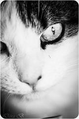 Jólakötturinn (Dóra B.) Tags: pet white cute animal cat pretty good lennon dýr dorabirgis