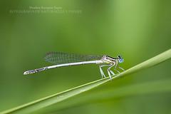 Jugando en mi ramita (Pruden Barquin) Tags: naturaleza insectos macro nature natural monte fotografia bichos motaña nikkor10528 nikond610 prudenbarquin