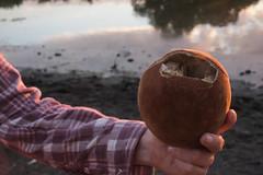 Genius Baobab Fruit.