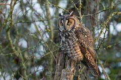 Long-eared owl (Asio otus) (Tony Varela Photography) Tags: owl longearedowl leow asiootus photographertonyvarela