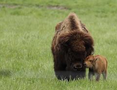 Buffalo, Fermilab. 8 (EOS) (Mega-Magpie) Tags: usa baby brown green nature grass america canon mom outdoors eos illinois buffalo tan dupage il batavia kane fermilab winfield calf bison 60d