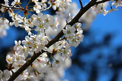 Blossoms in Bright's Grove (Rokudan) Tags: blue sky white ontario tree apple branch blossoms sarnia bloom floraandfauna brightsgrove flowerpictures anythingnature