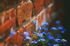 Wall Flower [Explored] (orbed) Tags: flower wall explore forgetmenot