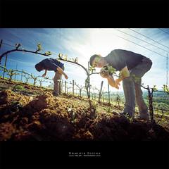 Mimtisme (dominikfoto) Tags: landscape vines beaujolais vin paysage vignes rhone fusina brouilly mtbrouilly bourgeonnage thivin fusinadominik