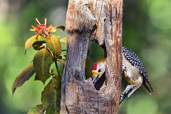 Woodpecker and Post