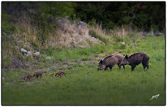 sangliers (boullard_a) Tags: wild nature boar sauvage sanglier marcassin