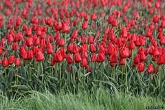 2016-04 Uitbundige kleuren mogen weer op Goeree (Dirksland/NL) (About Pixels) Tags: 0416 2016 april bloemen collecties dirksland goeree holland lenteseizoen mnd04 natuur nederland tulpen geldersedijk netherlands nl nikond7200 tulips flowers flora bollenteelt bollen tulpenbollen tulpenveld zuidholland
