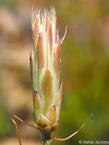 Escorcioneira (Scorzonera angustifolia)