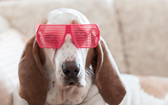 Sophie looking cool (bakosmike) Tags: dog sun glasses cool nikon hound 85mm shades basset 18 d300