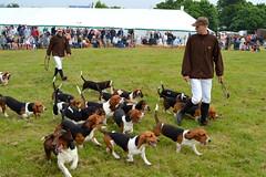 Bounding Bassets (dhcomet) Tags: show county dog hunting hound arena basset breed hertfordshire redbourn herts showground albanyandwestlodge