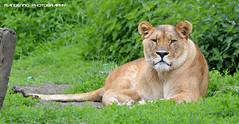 African lioness JJ - Olmense Zoo (Mandenno photography) Tags: animal animals cat big jj belgium belgie lion bigcat dieren dierentuin leeuwin leeuw dierenpark leeuwen olmen balen olmensezoo olmense