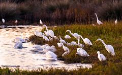 Egrets and Pelicans (m e a n d e r i n g s) Tags: california wetlands orangecounty greategret snowyegret americanwhitepelican