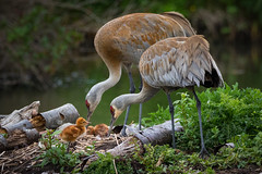 The Start (iPhilFlash) Tags: westhamisland nature colt birds outdoor gruscanadensis animal sandhillcrane wildbirds reifelbirdsanctuary wildlife delta britishcolumbia bird pond outdoors canada nestlings animals crane nest ca