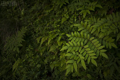 dark green (RenField - Toel-ul Laputa) Tags: green art nature japan 50mm leaf nikon kagoshima    jpn kyusyu    simga    d800e