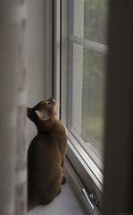 Fly Catchers 9 (peter_hasselbom) Tags: cats game window cat 50mm kitten play naturallight kittens usual abyssinian windowsill tuff ruddy 19weeksold huntingflies