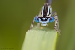 portrait (jean-marie teyssier) Tags: insecte libellule nevers odonate macronaturenievrebourgogne