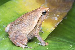 Black-spotted Sticky Frog (Abhishek T) Tags: macro nature animals wildlife sticky frog frogs blackspotted