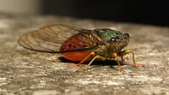 Cicada (Cicadidae) (John Horstman (itchydogimages, SINOBUG)) Tags: china macro topf25 bug cicada insect topf50 yunnan trap hemiptera cicadidae itchydogimages sinobug